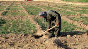 kurdish, agriculteur, creuser, la terre, la ferme